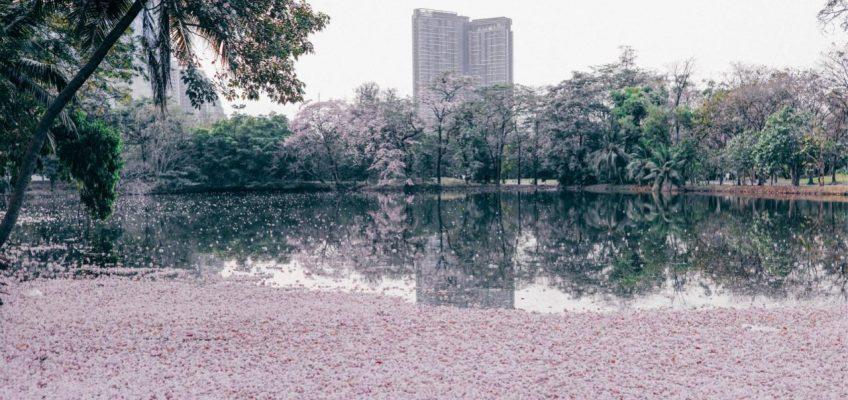 Бангкок в розовом цвету – в столице Таиланда зацвела Табебуйя розовая (ВИДЕО)